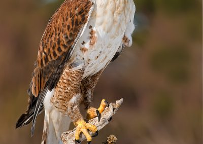 Ferruginous Hawk SLIDESHOW