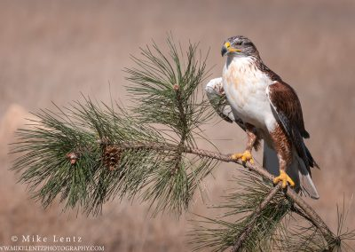 Ferruginous Hawk on pine
