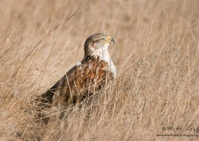 Ferruginous in grass slideshow