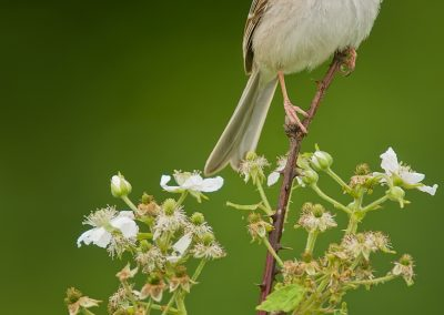 Field Sparrow on flowering shrub