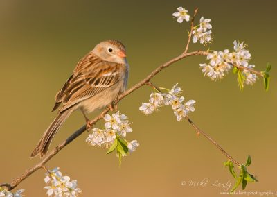 Field Sparrow on flowers
