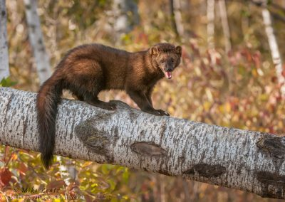 Fisher-on-birch-in-fall
