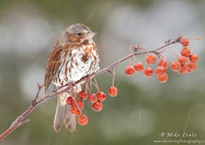 Fox Sparrow horizontal on berries