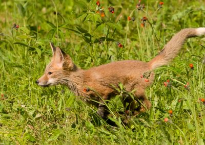 Fox pup running