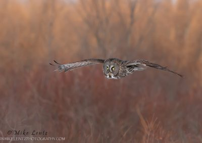Great Gray Owl in flight in front of Willows and Tamrack trees.