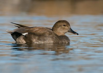 Gadwall portrait SLIDESHOW
