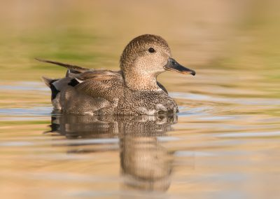 Gadwall reflecting