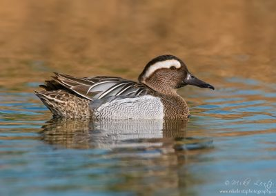 Garganey drake portrait
