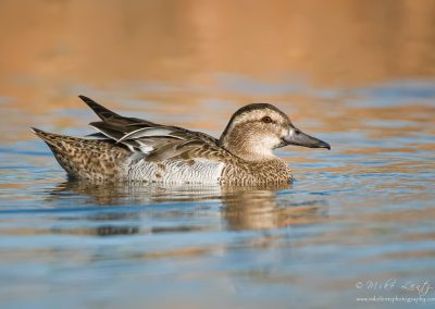 Garganey hen portrait