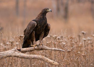 Golden Eagle field portrait SLIDESHOW