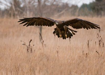 Golden Eagle floats over field SLIDESHOW