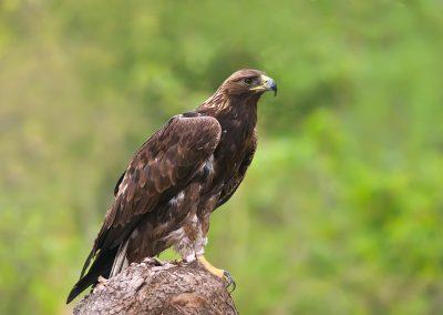 Golden Eagle perched SLIDESHOWjpg
