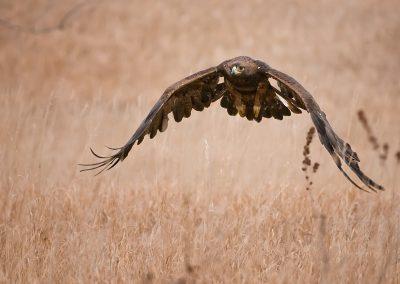Golden Eagle push down SLIDESHOW