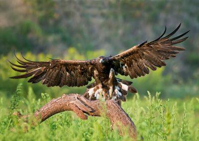 Golden eagle landing SLIDESHOW