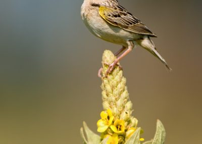 Grasshopper sparrow on Mullien sings