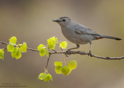 Gray Carbird on new growth aspenPS2
