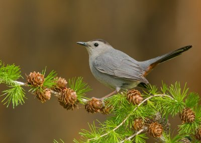 Gray Catbird on Tamarack
