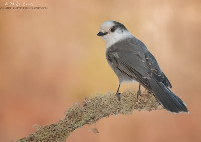 Gray Jay on lichen orange BG