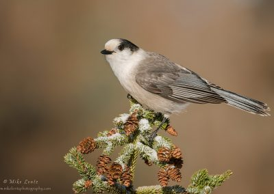 Gray Jay up on snowy pine