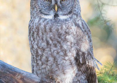 Great Gray Owl autumn scenePS2