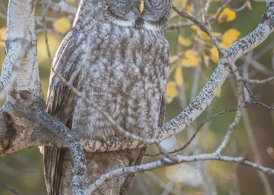 Great Gray Owl in Aspen backlitPS2