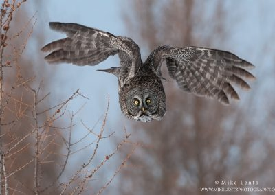 Great Gray Owl overhead directlyPS2