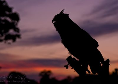Great Horned Owl purple silhouette