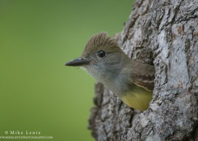 Great-crested Flycatcher peeks out cavityPS2