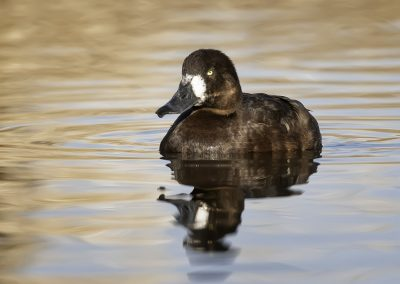 Greater Scaup hen on soft waters BLU