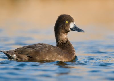 Greater Scaup hen portrait