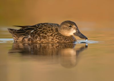 Green Winged Teal hen water drip