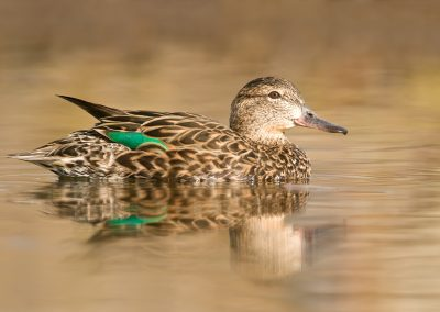 Green Winged teal hen reflecting