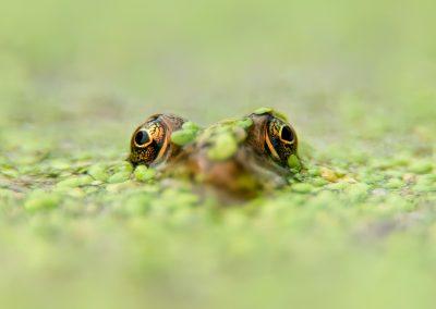 Green frog in Algae SLIDESHOW