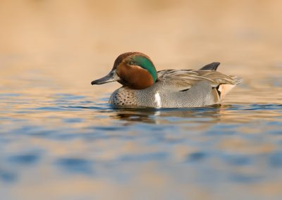 Green wing teal portrait