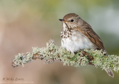 Hermit Thrush on lichen perch