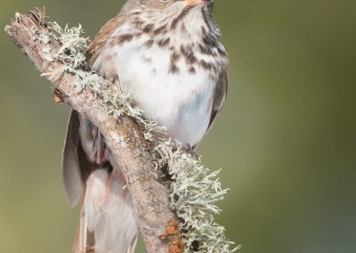 Hermit Thrush on verticle lichen branch
