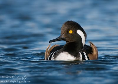 Hooded Merganser full frontal