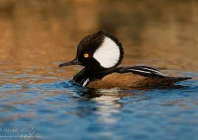 Hooded Merganser full sail