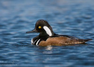 Hooded merganser portrait