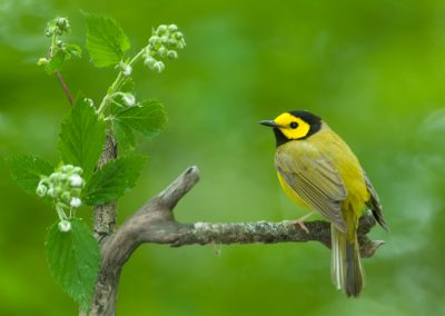 Hooded warbler on perch