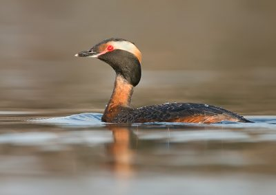 Horned Grebe on glass and low