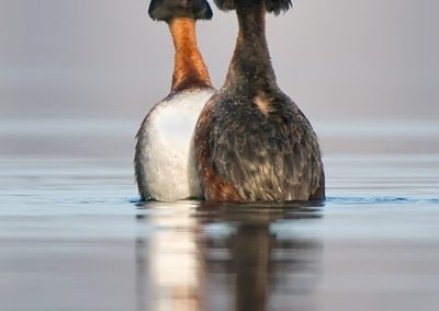 Horned Grebe displaying
