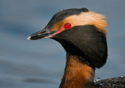 Horned Grebe headshot SLIDESHOW
