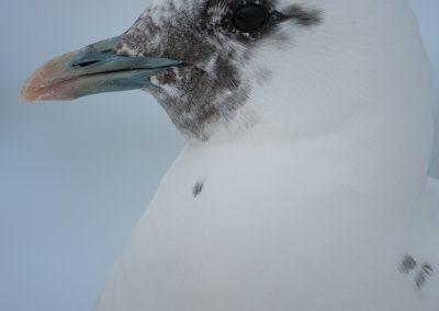 Ivory Gull head shot portraitPS2