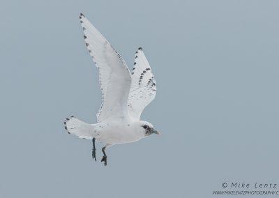 Ivory Gull in flightPS2