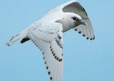 Ivory Gull verticle in flightPS2