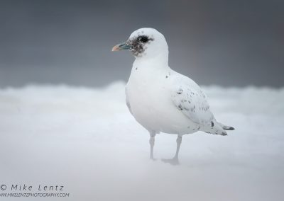 Ivory Gull washed out bottomPS2
