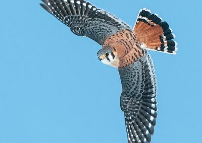 Kestral banking downwards in flight