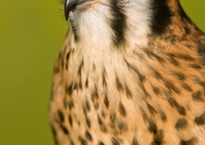 Kestral body portrait