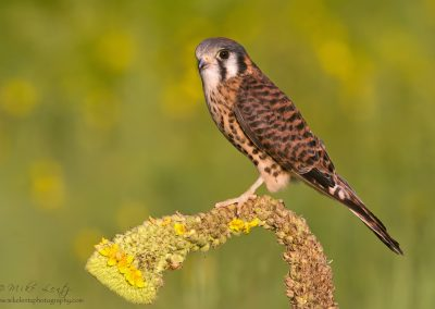 Kestral female horizontal